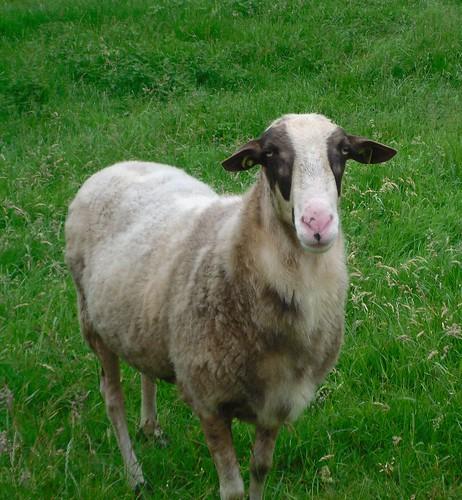 Sheep-close-up